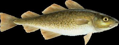 Peixe Bacalhau
