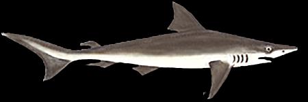 Peixe Cação