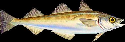 Peixe Merluza