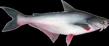Peixe Pangasius